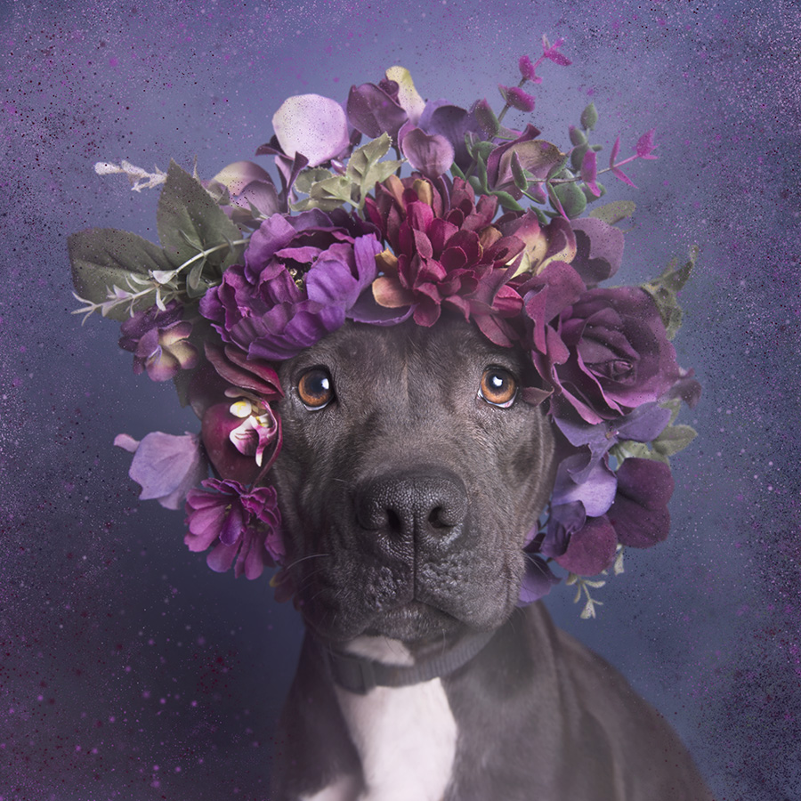 Sophie Gamand Pit Bull Flower Power, Aria - Sean Casey Animal Rescue