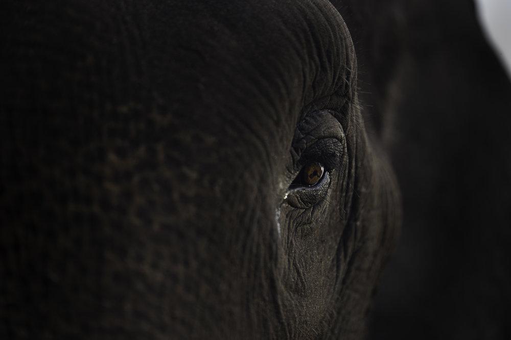 Art and activism. Sumatran elephant