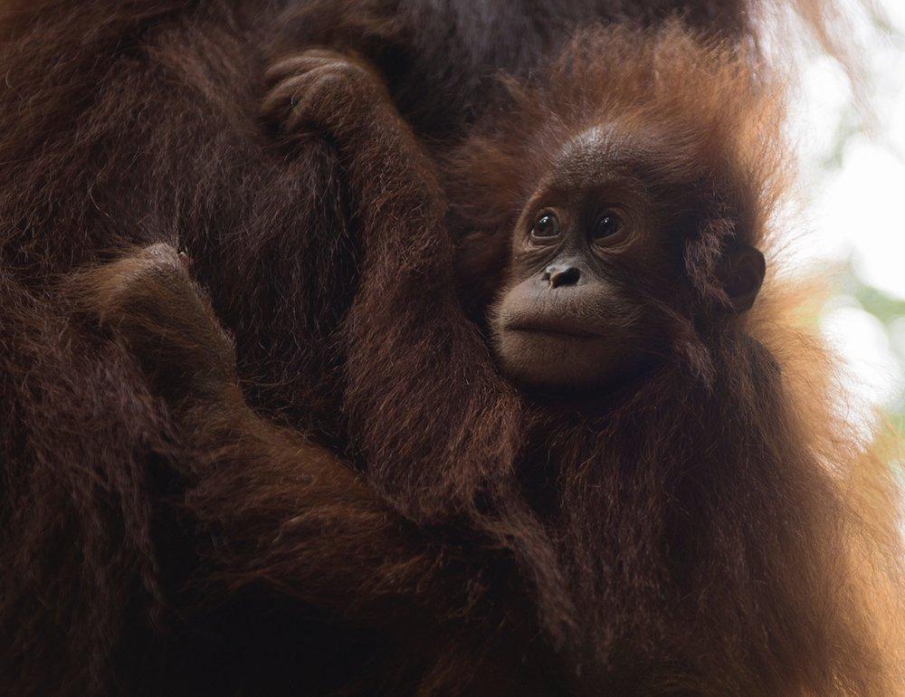Art and activism. Baby orangutan in Sumatra
